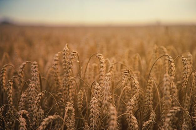 Brązowe pole pszenicy