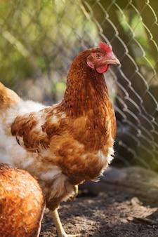 Brązowe samice kurze jaja. pomarańczowa kura z kurczaka