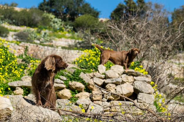 Brązowe springery pilnujące pola na maltańskiej wsi w słoneczny zimowy dzień