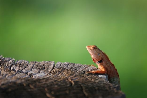 Brązowe zwierzę kameleon powiesić na pniu.
