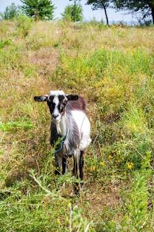 Brązowo-biała koza wioski wypas na łące