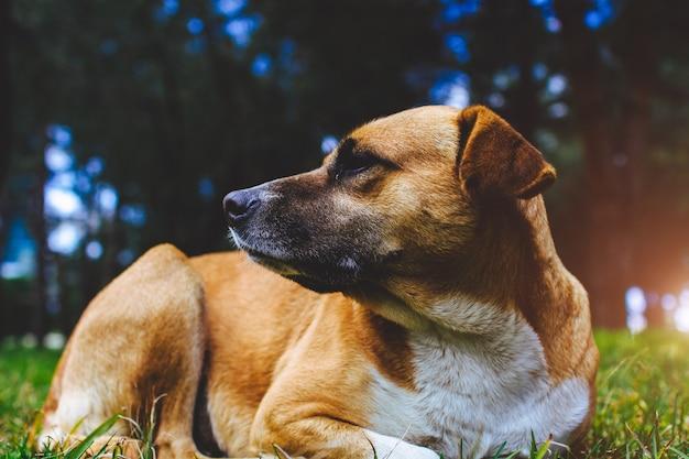 Brązowo biały bezpański pies z chipem na uchu leżącego na zielonej trawie w parku. kaganiec czerwonego psa zakończenie up