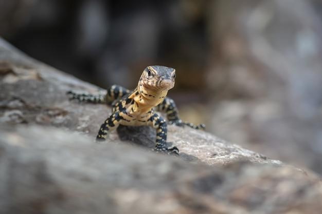 Brązowo-czarna jaszczurka na szarej skale