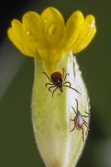 Brązowo-czarny chrząszcz na żółtym kwiacie