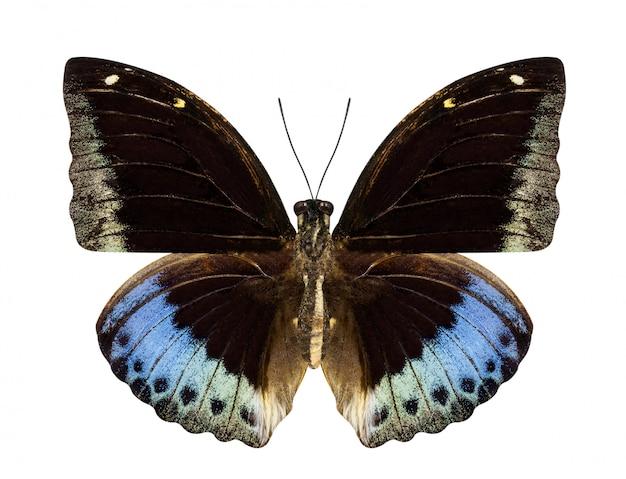 Brązowo-niebieski motyl