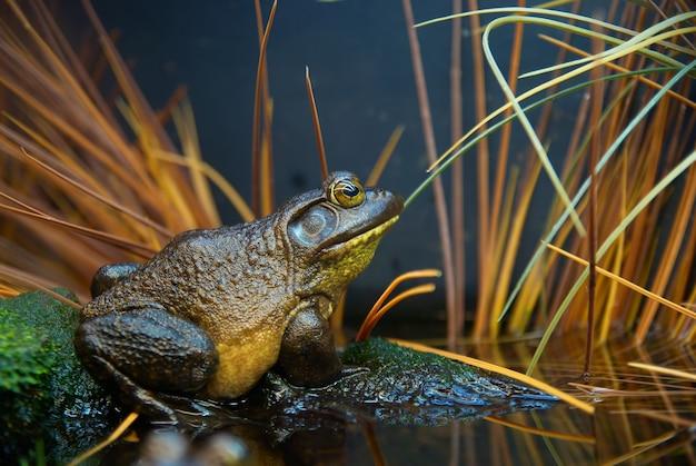 Brązowo-zielona żaba w trawie