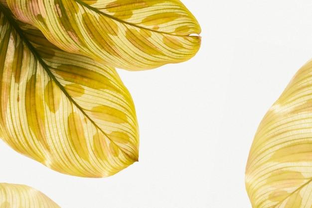 Brązowy calathea makoyana pozostawia tło