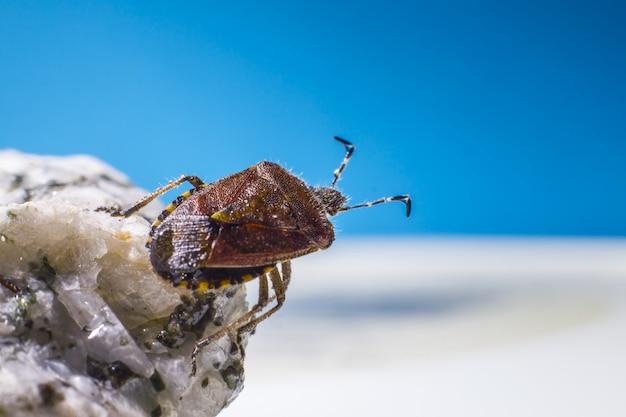 Brązowy chrząszcz na skale z bliska