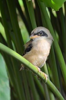 Brązowy dzierzba wewnątrz buszu, śpiewający ptak, lanius cristatus