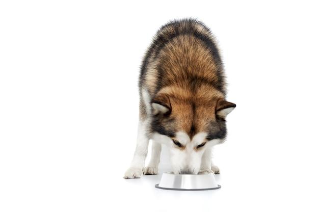 Brązowy husky jedzący z metalowej płyty.