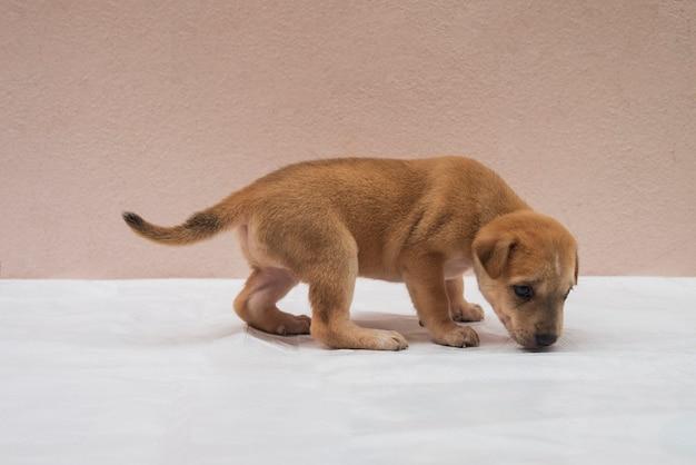 Brązowy hybrydowy szczeniak idzie, wącha, mierzy na białej podłodze