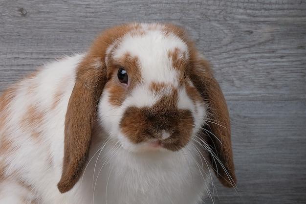 Brązowy i biały królik na szarym tle drewna