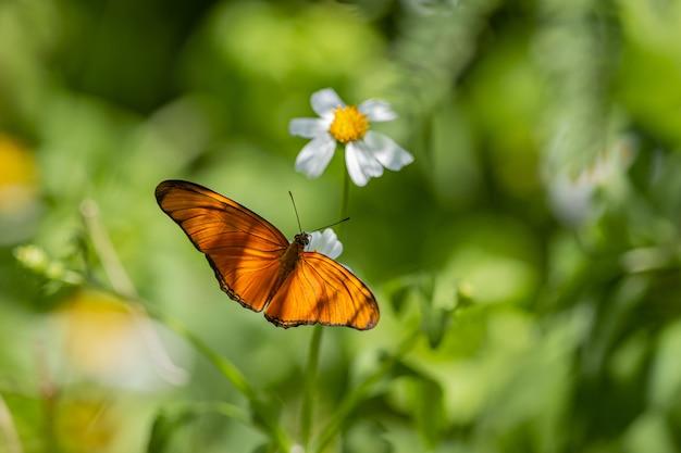 Brązowy i czarny motyl siedzący na białym kwiecie