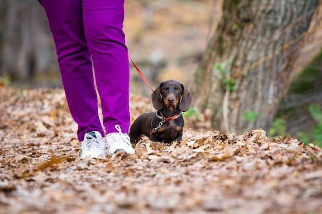 Brązowy jamnik szczeniak spaceru po parku z właścicielem