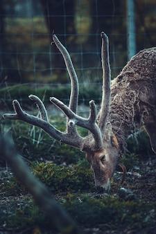 Brązowy jeleń jedzący trawę na ogrodzonym terenie