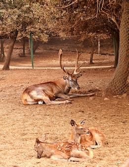 Brązowy jeleń z dużymi rozłożystymi rogami w parku
