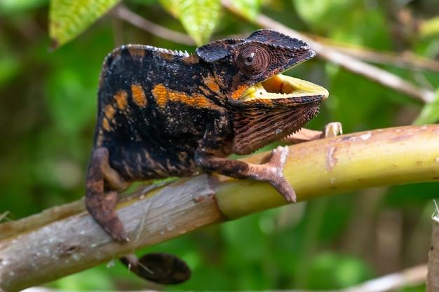 Brązowy kameleon na gałęzi drzewa