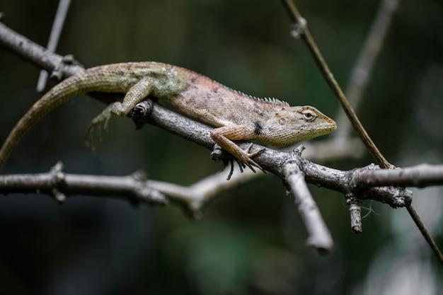 Brązowy kameleon na gałęziach
