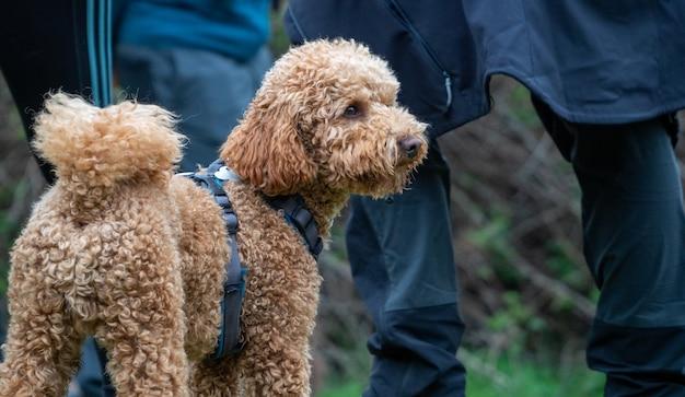 Brązowy kędzierzawy szczeniak stojący odwracając wzrok. widok z tyłu kudłatego psa w parku z niebieską uprzężą i ludźmi z tyłu.