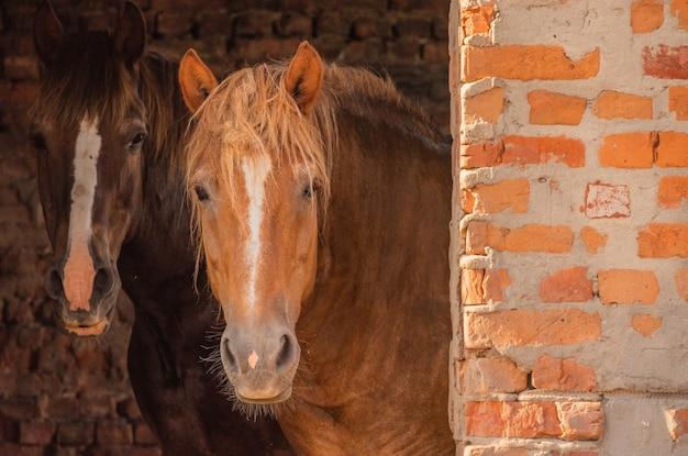 Brązowy koń stoi. konie na farmie. koń w okresie letnim. koncepcja zwierząt i przyrody.