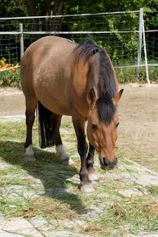 Brązowy koń wypasany na pastwisku w gospodarstwie