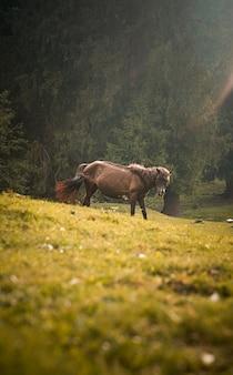 Brązowy koń wypasany w zielonym polu