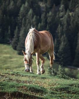 Brązowy koń z białą grzywą jedzący trawę na wzgórzu z sosnami na tle