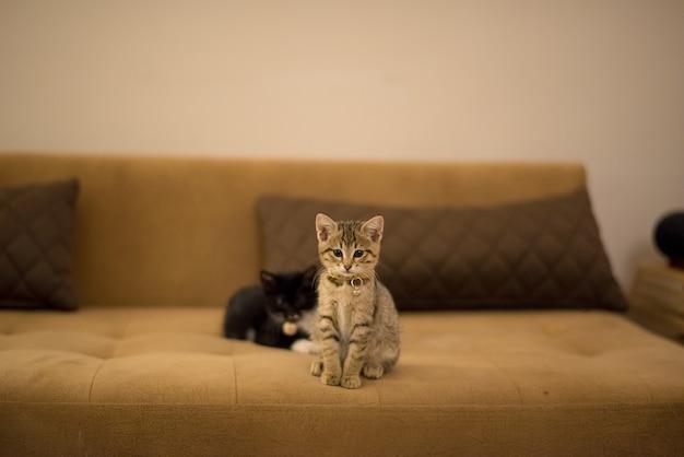 Brązowy kotek i czarny kotek bawiący się na brązowej kanapie obok poduszek