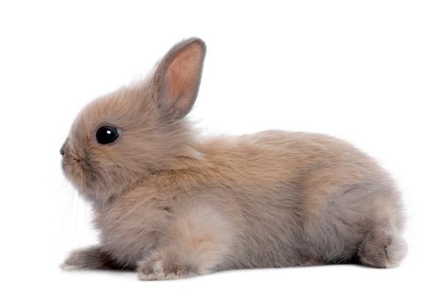 Brązowy królik (5 tygodni) na białym tle