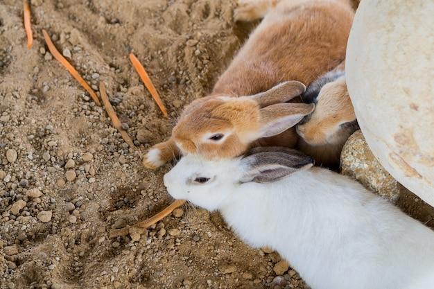 Brązowy królik, króliczek