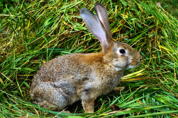 Brązowy królik siedzi w kupie świeżej zielonej trawie.