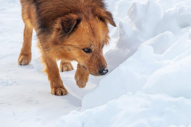 Brązowy kudłaty pies z bliska zimą idzie na śnieg