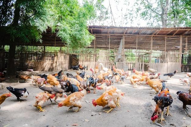 Brązowy kurczak lub kura na podwórku w lokalnej farmie
