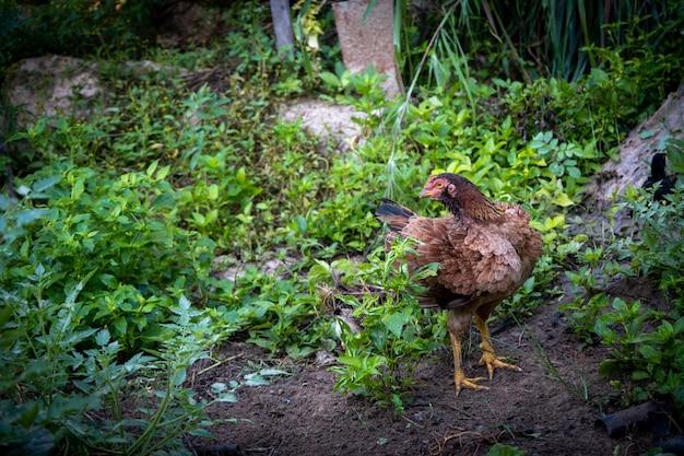 Brązowy kurczak z kurczaka stojący w warunkach polowych dla zwierząt hodowlanych, livest. kogut zwierzęta domowe