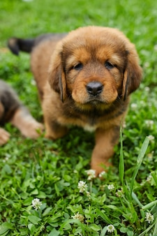 Brązowy ładny szczeniak szczęśliwy nowa fundlandia, adorable uśmiech psa w parku latem na zielonej trawie na świeżym powietrzu.