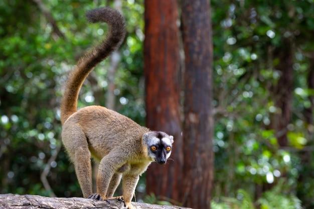 Brązowy lemur gra na pniu drzewa