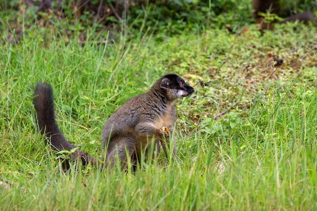 Brązowy lemur grający na trawie