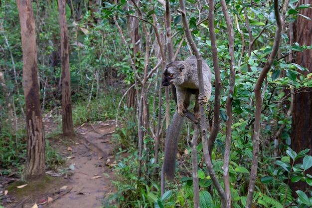 Brązowy lemur maki odbija się od drzew