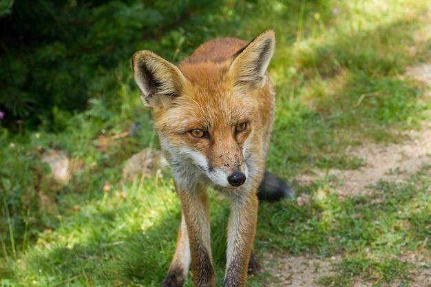 Brązowy lis na polnej ścieżce z intensywnym wyrazem twarzy