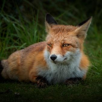 Brązowy lis w polu trawy w ciągu dnia
