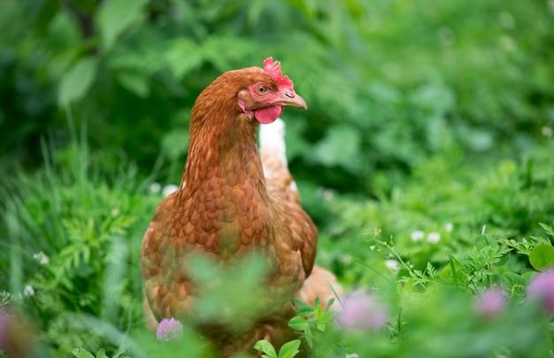 Brązowy młody kurczak w ogrodzie spacery po trawie.