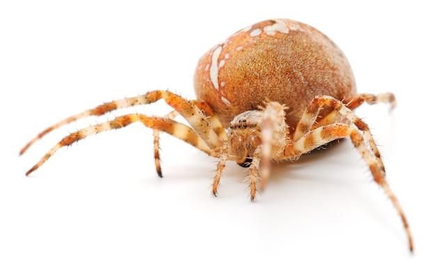 Brązowy pająk dom na białym tle.
