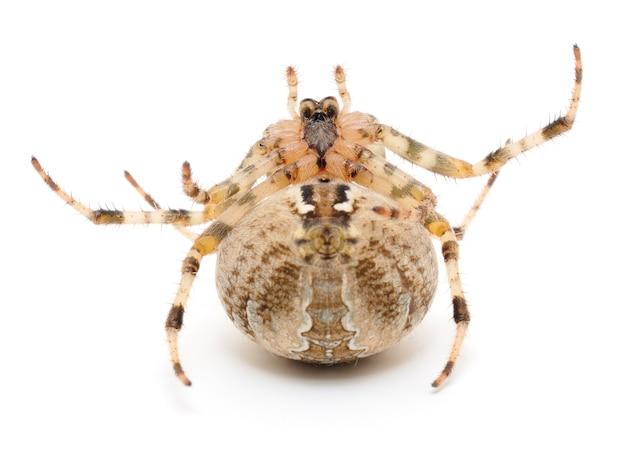 Brązowy pająk na białym tle
