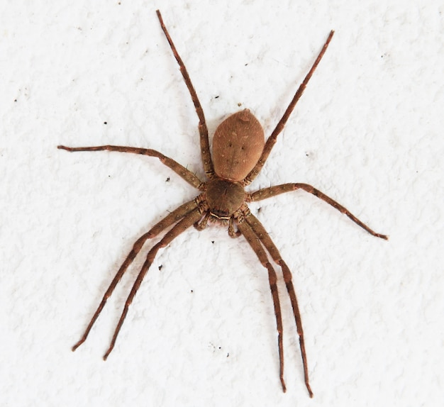 Brązowy pająk