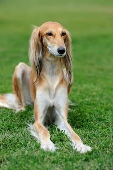 Brązowy pies borzoj w zielonej trawie latem