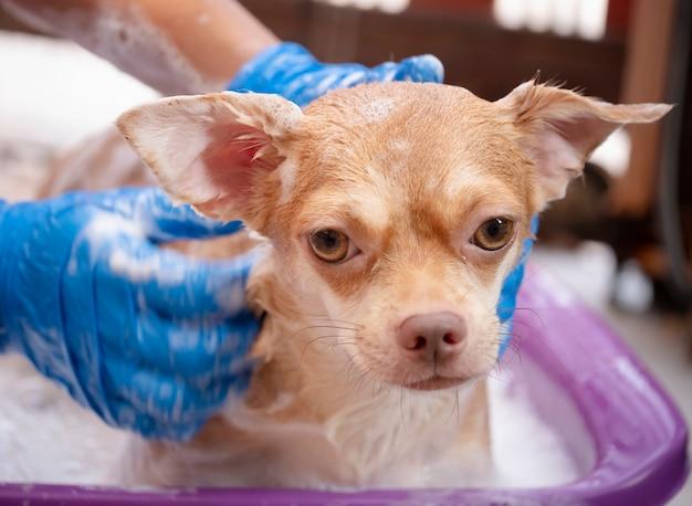 Brązowy pies chihuahua biorąc prysznic w domu