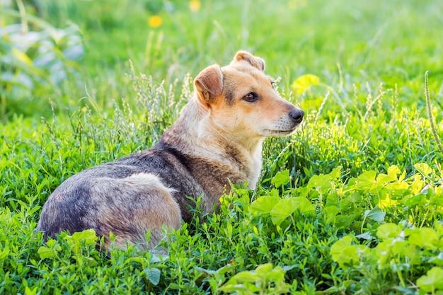 Brązowy pies leży na trawie i odpoczywa po spacerze