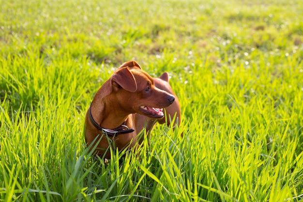 Brązowy pies mini pinscher w zielonej łące