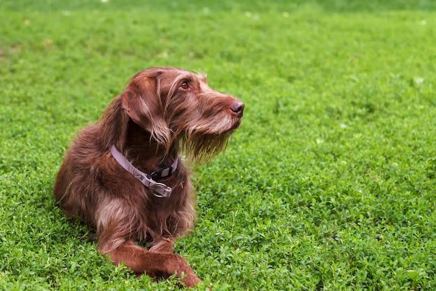 Brązowy pies myśliwski rasy drathaar leży na zielonym trawniku