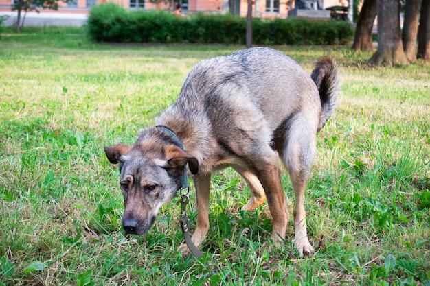 Brązowy pies robi kupę na ulicy na zielonej trawie.